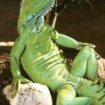 Is That An Iguana in Your Leg, Or…