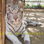 """Lily's Advocates"" Try to Enlist Dalai Lama to Get White Bengal Tiger Moved Out of Silverado"