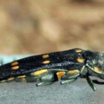 Ladies and Gentlemen, the Beetles! OC's Gold Spotted Oak Borer Invasion Ain't British