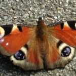 Alexander Bic Allegedly Tried to Smuggle More Than 150 Endangered Butterflies into U.S.