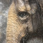 Ringling Bros. Gives Elephants That Perform in Anaheim Every Year Their Walking Papers