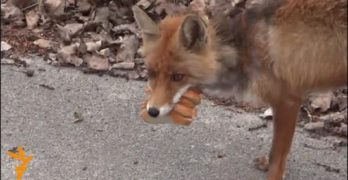 When You Put Radiation into Foxes, They Learn How to Make Sandwiches