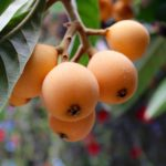 A History of Loquats in Orange County, and How So Many Ended Up in Santa Ana