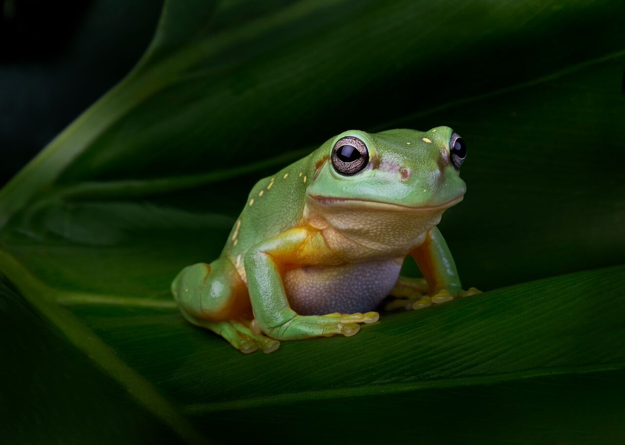 Frogs: Dazzling and Disappearing